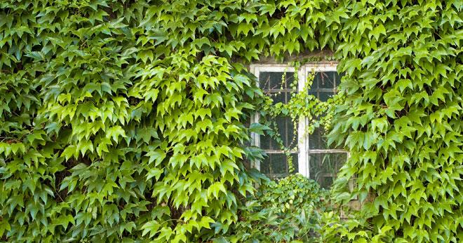 Apezinho verde - Apezinho